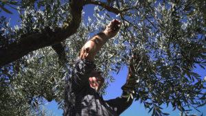 olivicoltura-sicilia-menfi-raccoglitore-olive-la-goccia-doro
