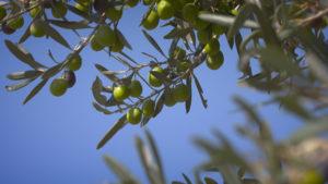 olivicoltura-sicilia-menfi-raccolta-olive-la-goccia-doro