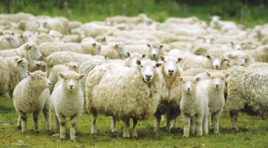 """""""Guida all'allevamento della pecora da latte"""", presentato il libro"""