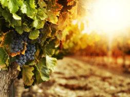 vigneto-al-tramondo-con-uve-nere