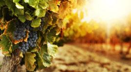 La vitivinicoltura è nata in Sicilia
