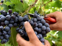 vendemmia uva nera mani forbici