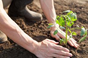 agricoltura-pianta
