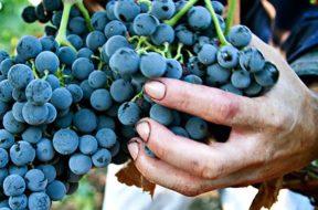 maniconuva_vigne_azienda-agricola_milazzo