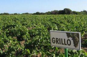 vigneto_grillo_doc-sicilia-vitigno