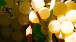 """Solo etichetta DOC per i vini ottenuti da uve """"Grillo"""" e """"Nero d'Avola"""""""