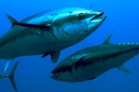tonno in mare libero branco