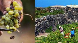 Passito, a Pantelleria si celebra una tradizione millenaria con il Passitaly, dal 7 al 10 settembre