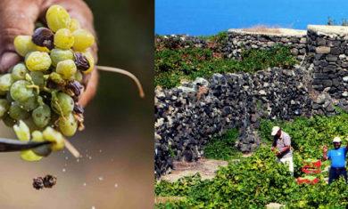 passitaly pantelleria zibibbo uva vendemmia