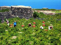 vendemmia pantelleria zibibbo uva raccolta a mano