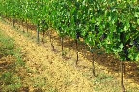 vigneto-vitivinicoltura-vino-psr-sicilia-720×292