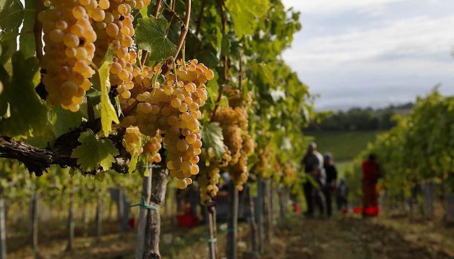 """Sicilia: vendemmia 2018, le previsioni del """"Gambero Rosso"""""""