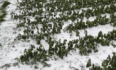 agricoltura calamità naturale danni-alle-colture2