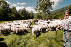 Ovini, pecore, pascolo, pastore