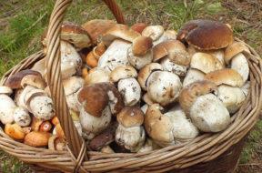raccolta-funghi-tesserino